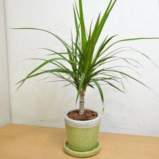 観葉植物 4号鉢 コンシンネ 陶器鉢入