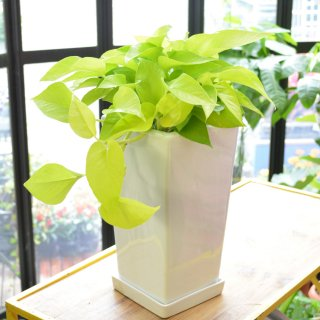 観葉植物 ポトスライム 白陶器鉢 横約25cm×縦40cm