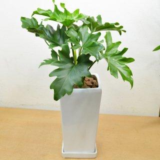 観葉植物 セローム陶器鉢植 高さ約55cm×横約40cm