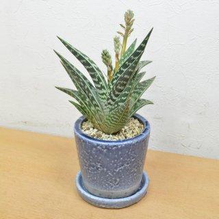 観葉植物 アロエ千代田錦陶器鉢植