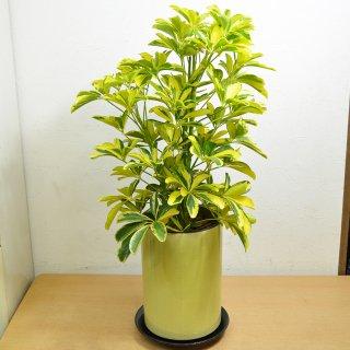 観葉植物 シェフレラ・ハッピーイエロー 陶器鉢入