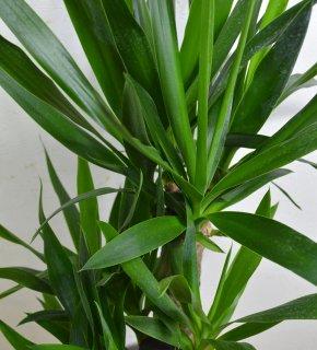 観葉植物 ユッカ 白陶器鉢入