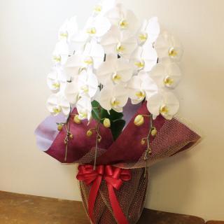 開店・開業祝いの贈り物に!胡蝶蘭 カラー:ホワイト 白 3本立て