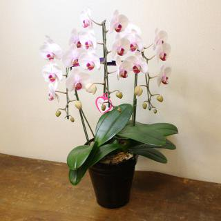 【胡蝶蘭9480円シリーズ】開店・開業祝いの贈り物に!胡蝶蘭 カラー:ホワイト×ピンク