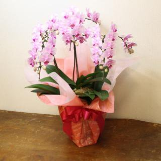【胡蝶蘭9480円シリーズ】開店・開業祝いの贈り物に!胡蝶蘭 カラー:ピンク