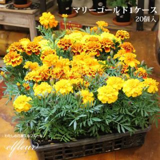 季節の花苗 マリーゴールド 1ケース  20個入 ガーデニング 園芸