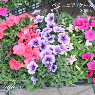 季節の花苗 ペチュニア苗 20セットケース販売 3.5寸ポット ガーデニング 苗 ガーデニング 園芸