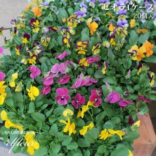 季節の花苗 ビオラ苗 16セットケース販売 10.5cmポット ガーデニング 苗 ガーデニング 園芸