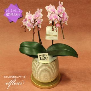 敬老の日の贈り物に♪ 器がゴージャスなミニ胡蝶蘭