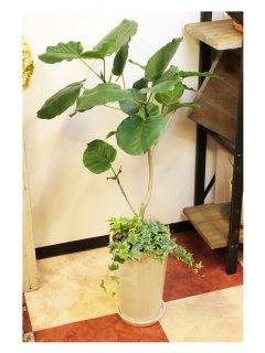 陶器鉢からでるアイビーがお部屋をお洒落に演出♪ ウンベラータ 高さ:約90cm