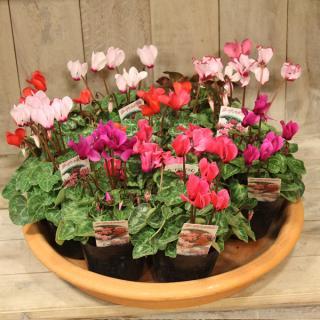 ガーデンシクラメン 10個入 10.5cmポット ガーデニング 花苗