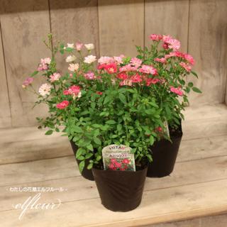 つるバラ苗3個セット ガーデニング 花苗 園芸