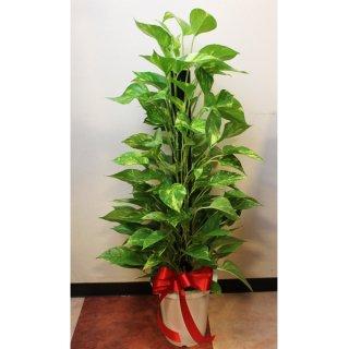 観葉植物 ポトス 簡易鉢 リボン付 高さ約90cm