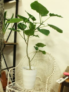 観葉植物 ウンベラータ 簡易鉢 高さ90cm