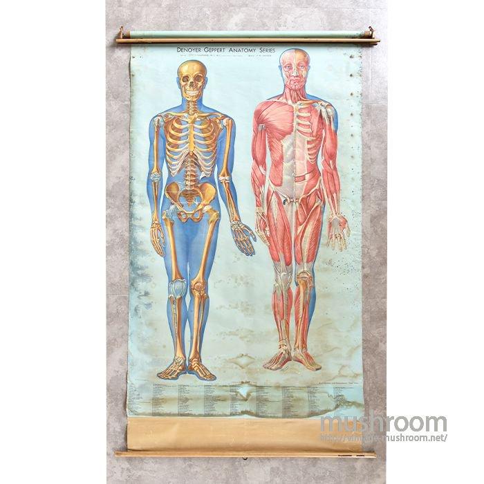 Medical Denoyer Geppert Anatomy Pull Down Chart