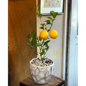 [鉢植え]グランドレモンの木