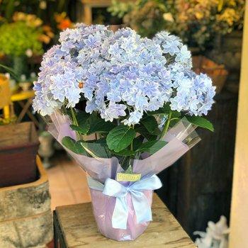 [母の日の鉢植え]アジサイ「万華鏡」BLUE